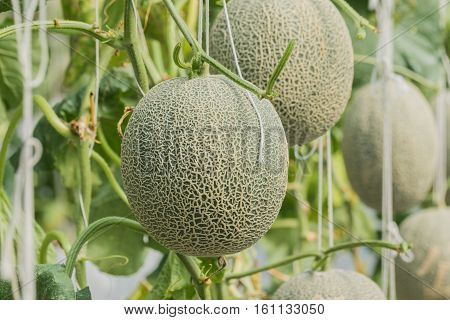 Cantaloupe. Fresh melon on tree. selective focus