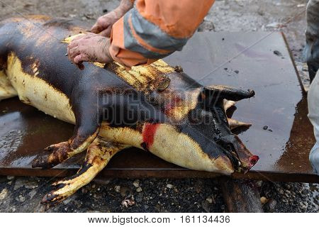 Slaughter Remove The Hair Of The Pig With A Knife