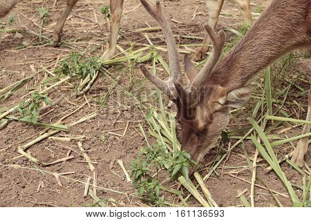 sika deer in the nature at zoo