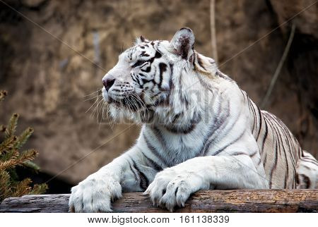 Bengal Tiger - a rare subspecies, is included in the IUCN Red List
