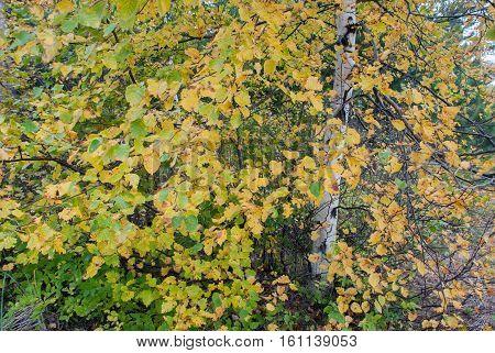 Autumn finery of white birch, Marquette County, Michigan, USA