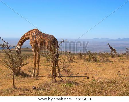 Two Wild Giraffes, Serengeti Park, Tanzania