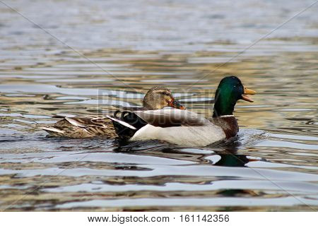 A Mallard drake quacking to his female swimming alongside