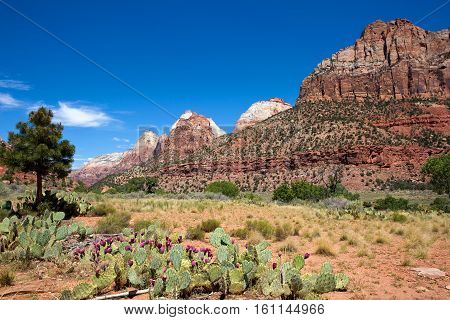 Prickly pear cactus grows in the valley of Zion National Park Utah USA.