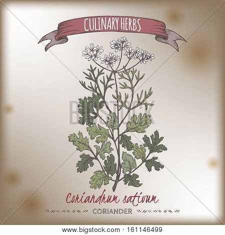 Coriander aka cilantro, Coriandrum sativum, color hand drawn sketch. Culinary herbs collection. Great for cooking, medical, gardening design