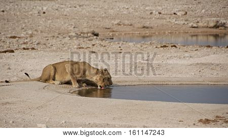 Two lions drinking water at the waterhole in Etosha National Park, Namibia
