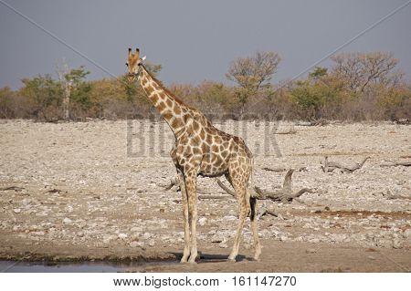 Long necked Giraffe at waterhole in Etosha National Park, Namibia