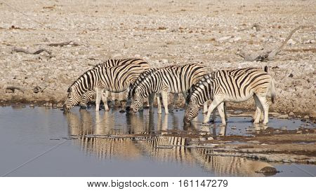 Three Burchell's zebras drinking at waterhole in Etosha National Park, Namibia