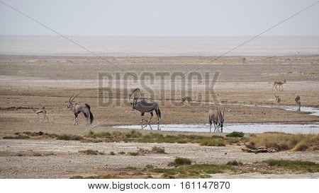Gemsboks and springboks gathering at waterhole in Etosha National Park, Namibia