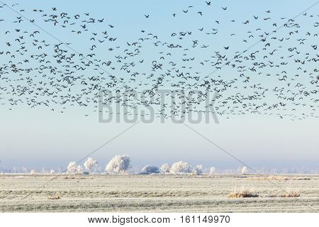 Flying wild geese over frost covered rural landscape