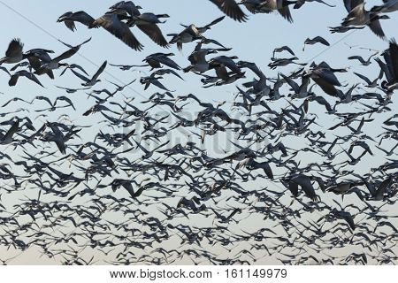 Flock of Barnacle Geese lifting in the air