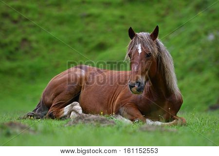 beautiful horse resting on mountain pasture in summer