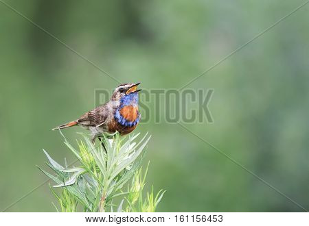 a blue bird sings on a branch of wormwood in the summer