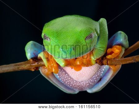 The red-eyed tree frog. The frog sleeping on the branch hanging funny holding orange paws. Beautiful green and blue colors. Exotic animal of rain forest.