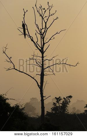 Big Tree With Sitting Peacock Silhouette Sunrise Red Sky Background At Udawalawe National Park, Sir