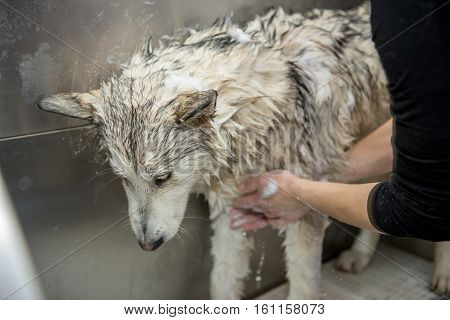 dog wash in the cabin. The dog breed malamute washed in salon for dogs.