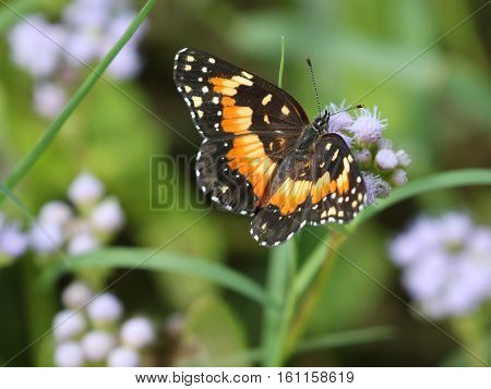 A Bordered Patch Butterfly (Chlosyne lacinia) on Blue Mistflower