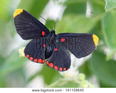 A Red-bordered Pixie Butterfly (Melanis pixe) resting with wings open