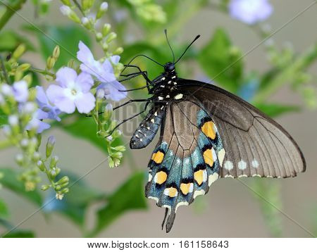 A Pipevine Swallowtail butterfly (Battus philenor) feeding