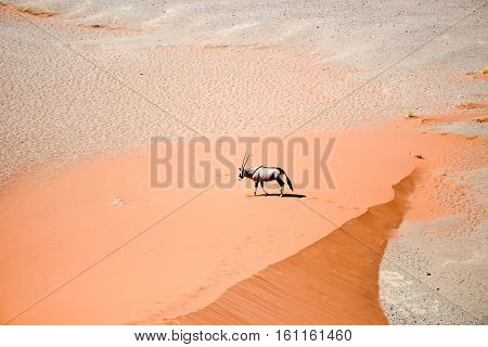 an image of an oryx in Africa