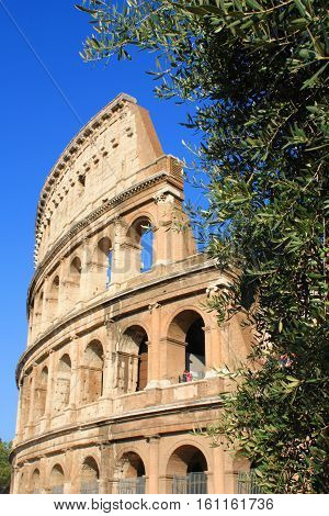 Olive tree and Colosseum in the background Rome Italy. Focus is on the olive tree