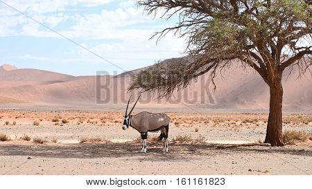 Oryx On Sand