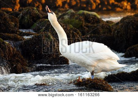 An adult Mute Swan shaking water from it's feathers