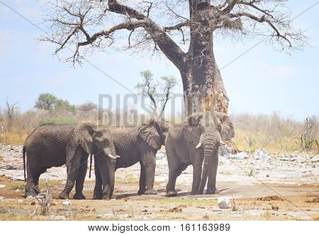 an image of three elephants in Africa