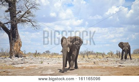 Elephants In Africa