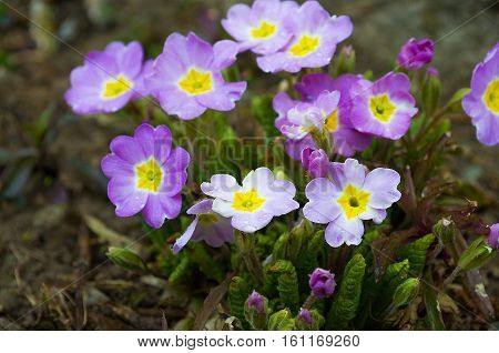 small spring primrose bloom quickly and are happy spring day
