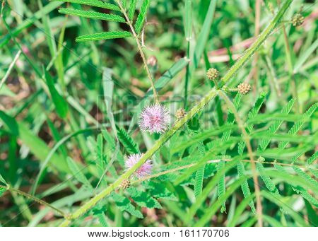Mimosa pudica flower with green leaves sensitive plant