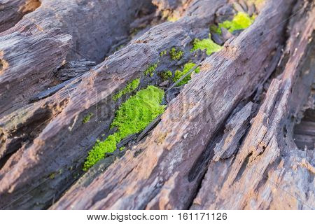 green moss growth on stack of old wood selective focus
