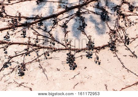 Clambering plant Parthenocissus - Virginia creeper - berries and dry vines on gray concrete wall in late autumn. Abstract floral background.