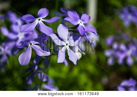 Periwinkle blue flowers are beautiful in spring day