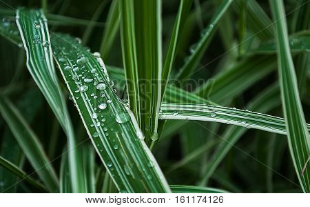 Brilliant dew on green leaves in summer outdoors