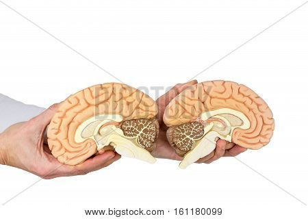 Hands holding models human brain hemispheres isolated on white background