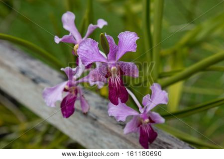 wild violet orchid on natural blurred gray - green background