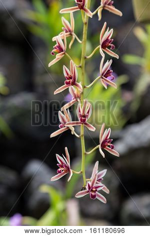 wild white - purple orchid on natural blurred background