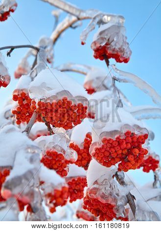Branches of mountain ash in ice. Winter outdoor