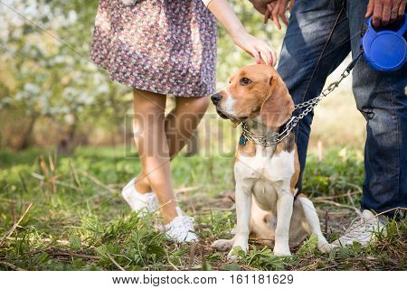 Close-upof a dog. Woman and man with their nice dog in the park. summer walk with a dog. Beagle breed dog sitting in rack on a tight leash on green grass.