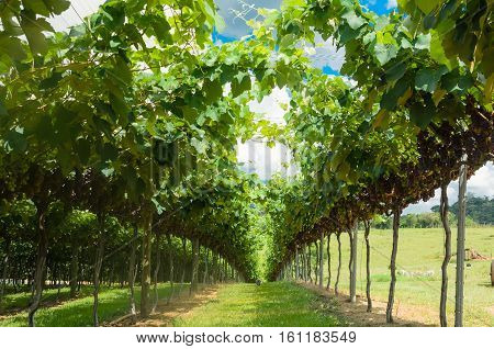 Bunches of red wine grapes hanging on the wine