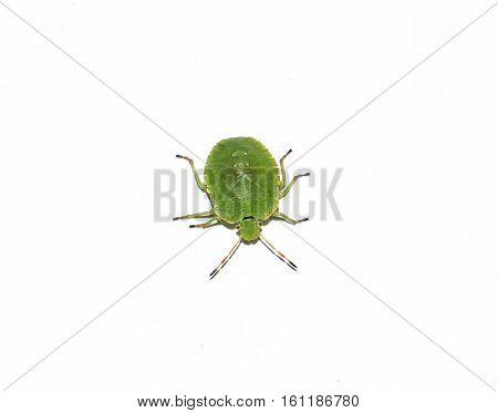 Green stink bug (Nezara viridula).