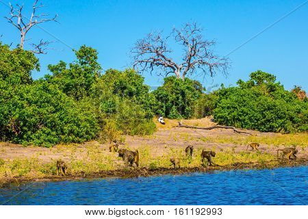 Herd of baboons at the watering. Chobe National Park in Botswana. The concept of extreme and exotic tourism in Okavango Delta