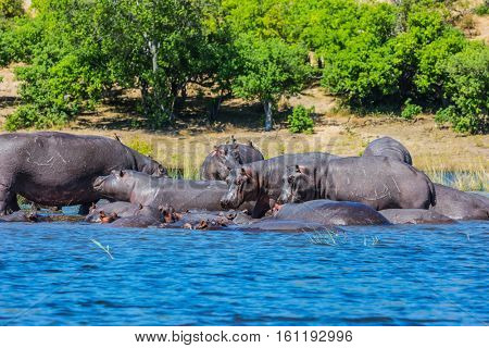 Huge herd of hippos resting in cool waters of the river. The concept of extreme and exotic tourism in Okavango Delta, Chobe National Park, Botswana