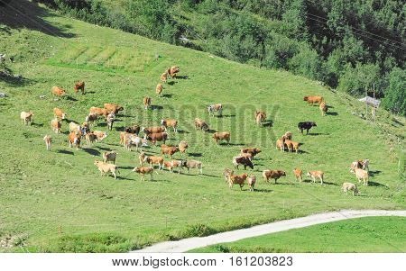 Herd Of Cattle Grazing On Sunlit Spring Highlands Alpine Grassland
