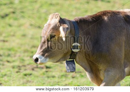Brown Swiss Breed Cow Grazing On Alpine Slopes