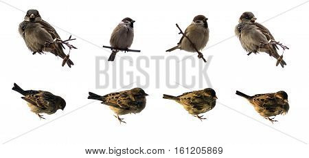 Sparrows set. Sparrow on branch isolated on white background. Sparrow and House Sparrow (Passer domesticus Passer montanus).