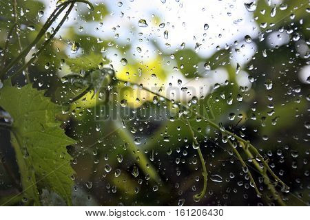 Blurred Green Plants Behind The Wet Window With Rain Drops