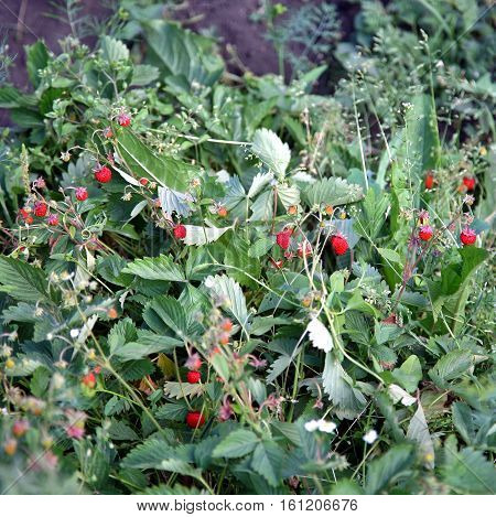 Wild Strawberry Bush With Ripe Berries And Green Leafs Close-up