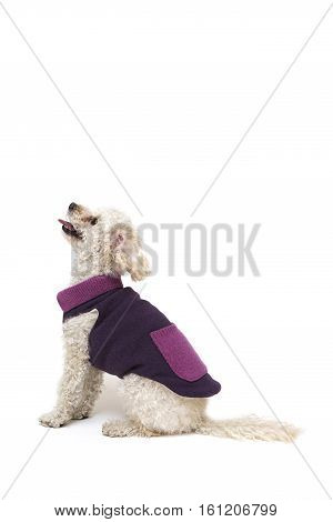 Cute Little White Poodle In Dog Clothes